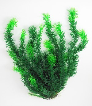 Excellent Background Plant for tall or larger aquariums